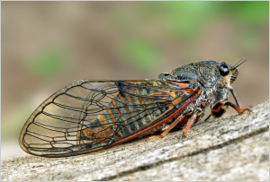 New Forest cicada