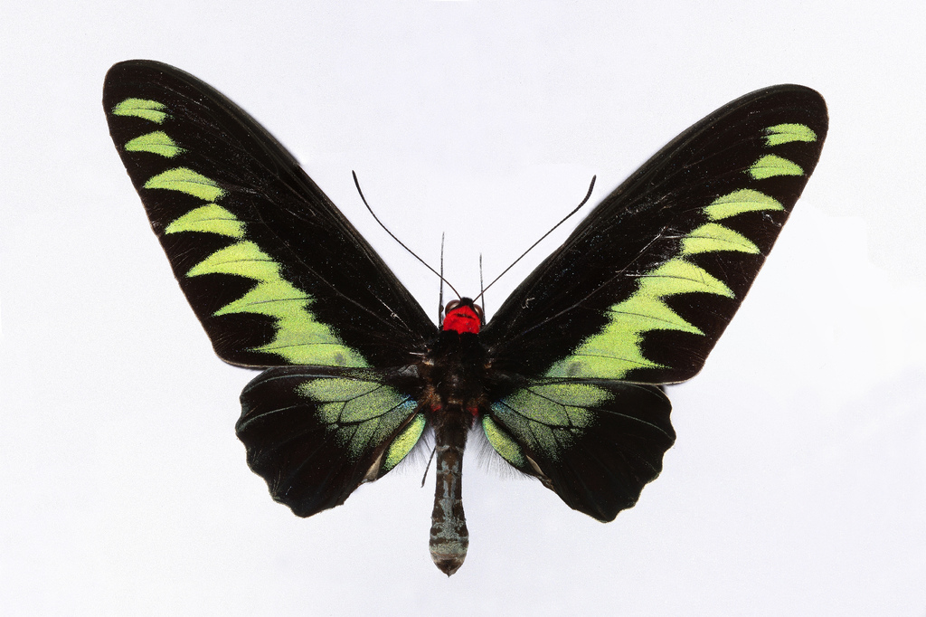 Structural blackness with applications in stealth technology as incorporated into a butterfly wing.